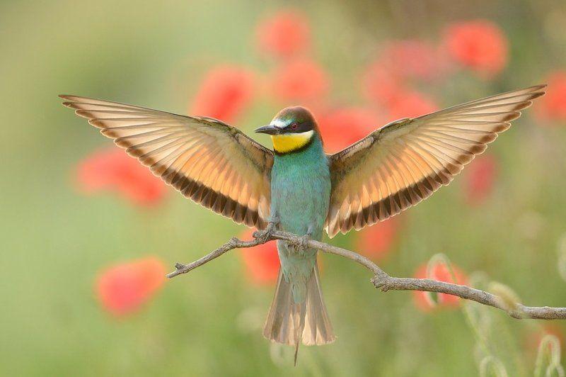 European bee-eaterphoto preview