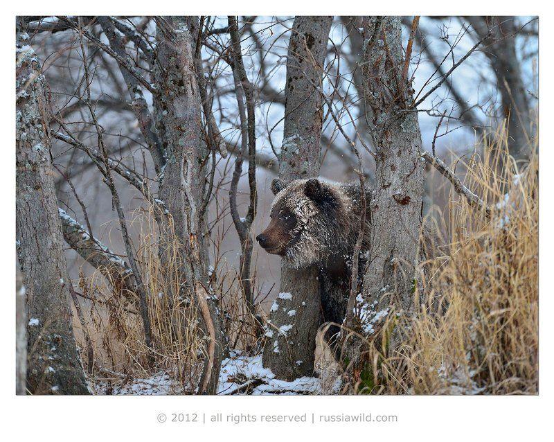 бурый медведь, осень, камчатка Бакенбардыphoto preview