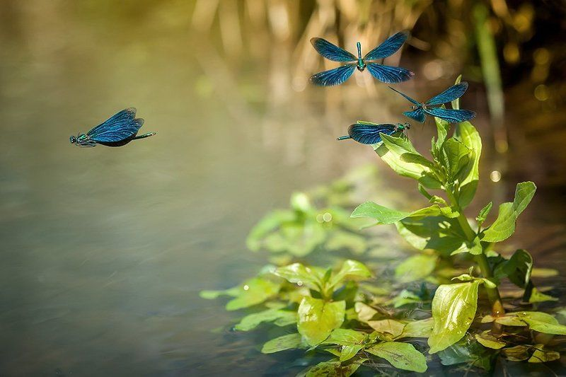 Красотка тёмнокрылая, Красотка-девушка, Природа Красотки-девушкиphoto preview