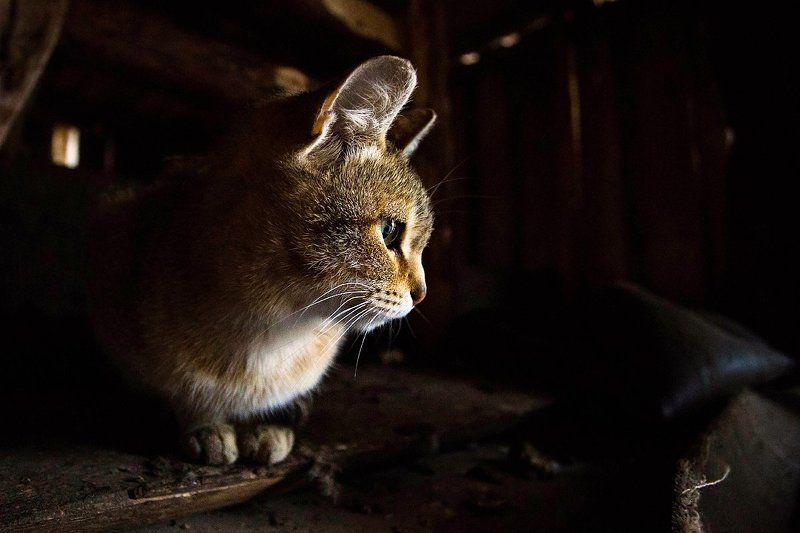 животное, животные, кот, кошка Старший по сараюphoto preview