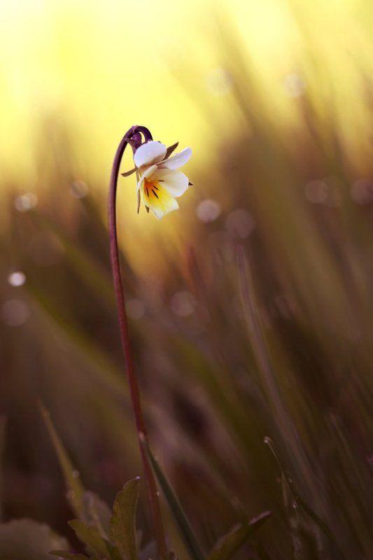 Viola arvensis, Полевые цветы, Фиалка полевая **photo preview
