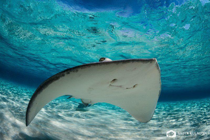 Вода, Каймановы острова, Море, Подводная съемка, Подводное фото, Скат, Хвостокол Смайликиphoto preview