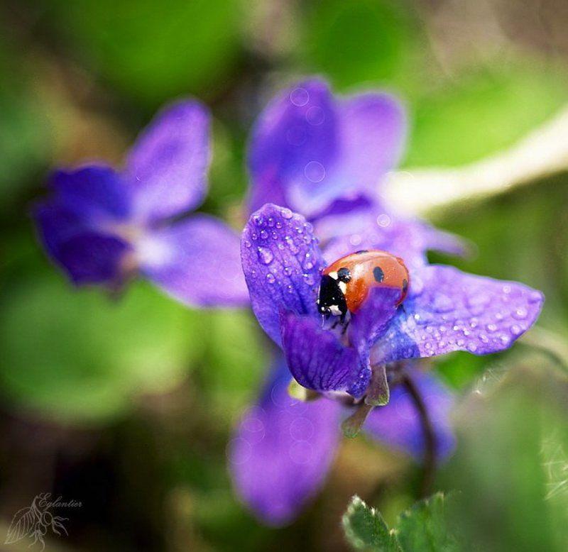 макро, цветы, божья, коровка, фиолетовый, красный, весна Большой мир для Маленькой Коровки.)photo preview
