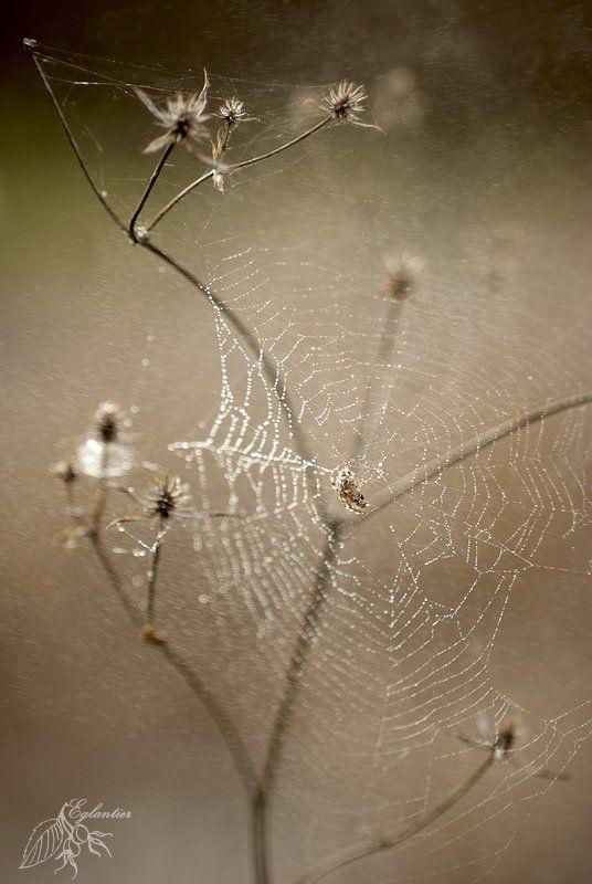 макро, паутина, паук, капли, роса, сухоцвет, весна, лес Паутинка -1-photo preview