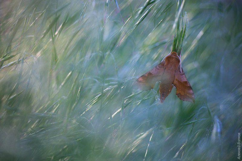 Бабочка, Бражник, Дикая природа россии В ожидании солнцаphoto preview