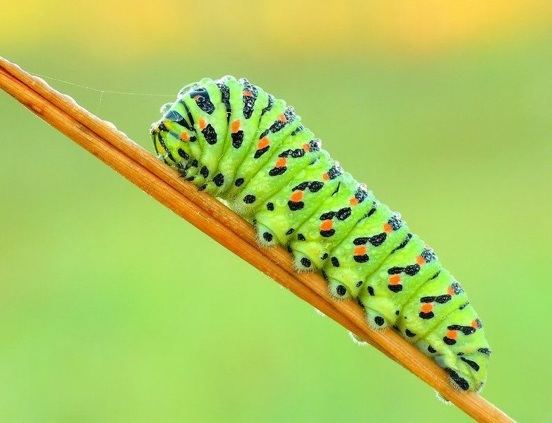 Papilio machaon - solar childhood ...photo preview