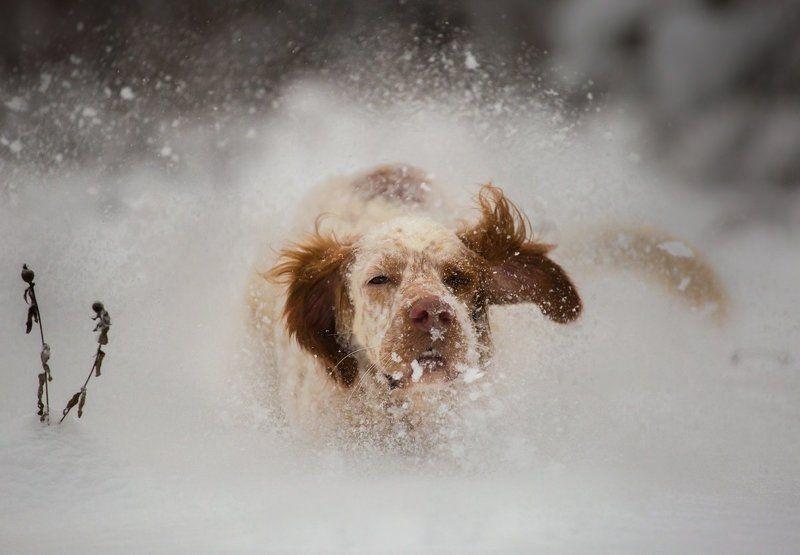 Английский сеттер, Зима, Саров, Снег, Собака в движении, Собака в прыжке, Фото собаки, Фотограф Зимние забавыphoto preview