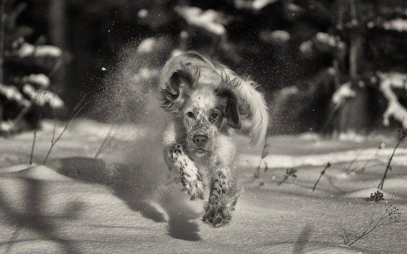 Английский сеттер, Движение, Зима, Прогулки с собакой, Саров, Снег, Собака в движении, Фотограф Зимние забавыphoto preview