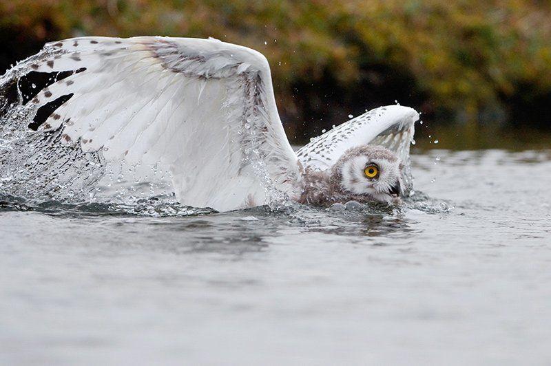 А Вы видели, как плавают совы?photo preview