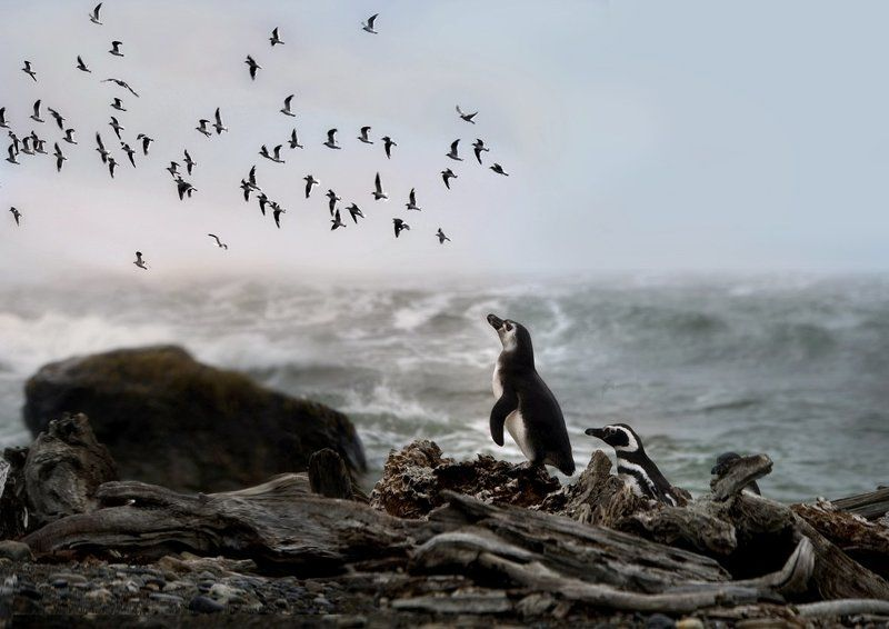 аргентина, мечта, пингвин, полёт A Dream...photo preview