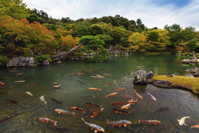 япония, киото, рыбы, карп, пейзаж, природа, пруд, вода, сад Киотоphoto preview