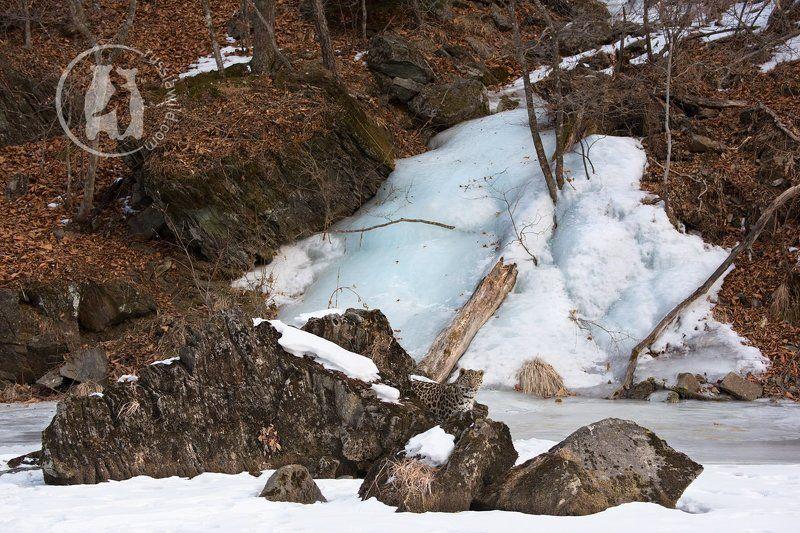 Про дальневосточного леопарда и замерзший водопадphoto preview