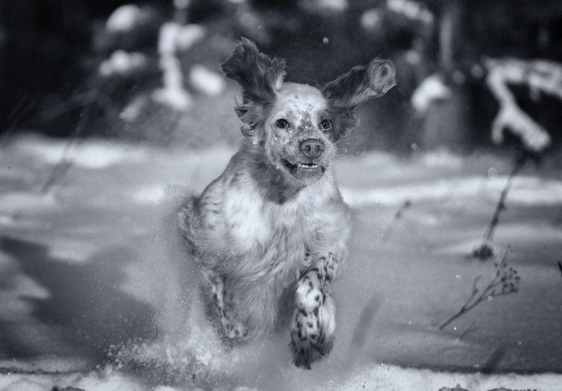 Аглийский сеттер, Ветер, Движение, Зима, Пыль, Саров, Снег, Собака в движении, Фотограф Из снежного пленаphoto preview