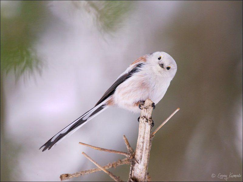 Длиннохвостая синица, Ополовник, Птицы сахалина Приветик!photo preview