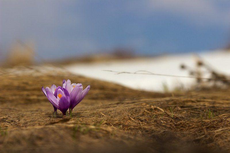 Весна, Гора, Крокусы Крокусыphoto preview