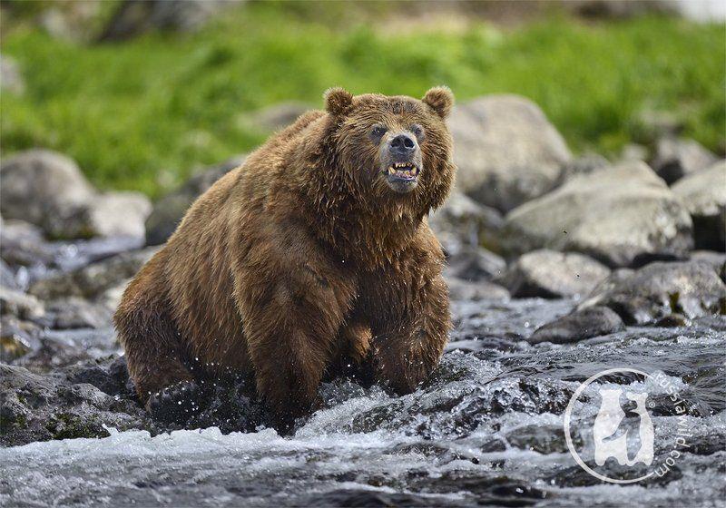 Бурый медведь, Дикая природа россии, Камбальная река, Камчатка, Николай  зиновьев, Южно-камчатский заказник Скажи чи-и-и-и-и-з!photo preview