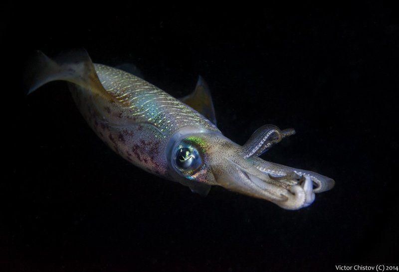 Underwater, кальмар Кальмар - это не только вкусная пищаphoto preview