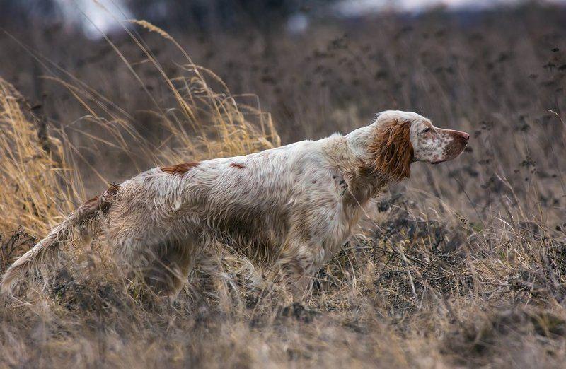 английски сеттер, дупель, луг, охота, поле, птица, стойка, трава, легавая собака, по перу Дупель на чутьеphoto preview