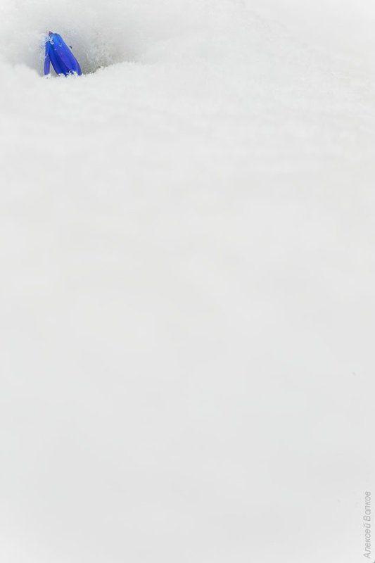пролеска, снег, апрель, сцилла сибирская, воронеж Апрельские шалостиphoto preview
