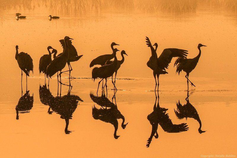 журавли, заповедник, озеро, отражения, природа, птицы, рассвет, свет, утро Журавушки на золотом рассвете ...photo preview