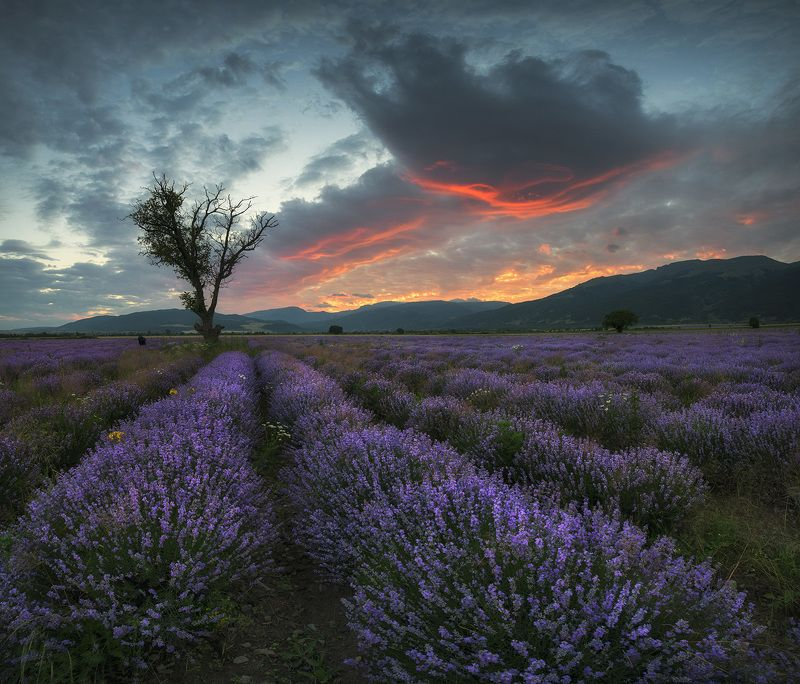 Болгария, Дерево, Закат, Лаванда, Облака Лаванда на закатеphoto preview