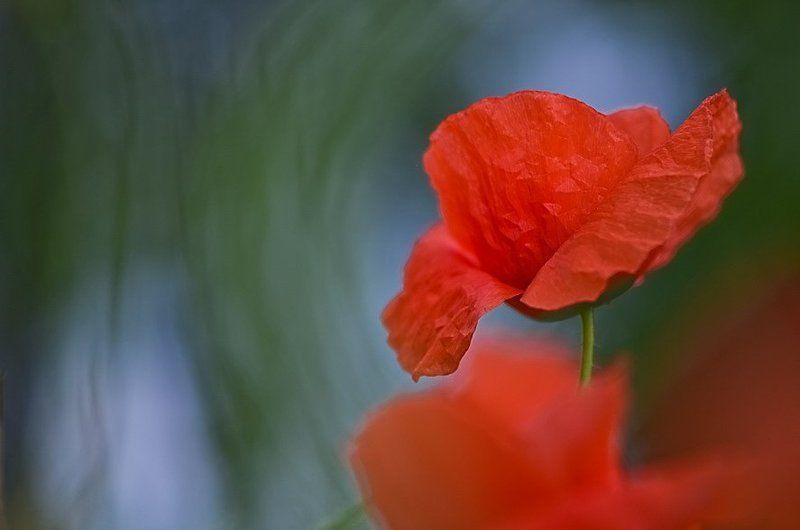 лето, мак, цветы Грацияphoto preview