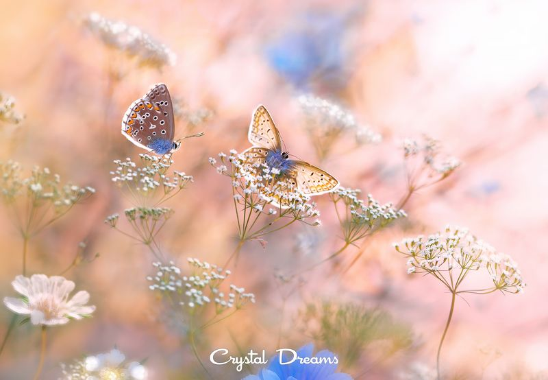 Butterfly, Color, Crystal Dreams, Flower, Macro, Meadow, Nature, Summer \