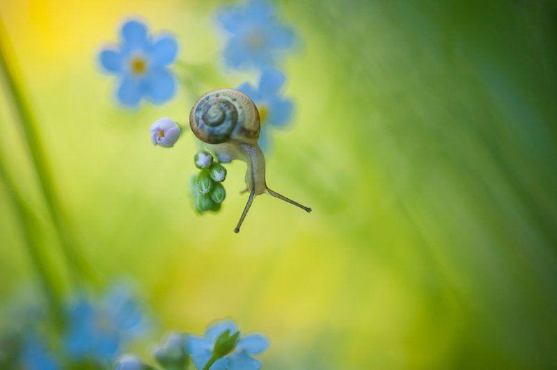 Макро, Незабудка, Природа, Улитка Все было вокруг голубым и зеленымphoto preview