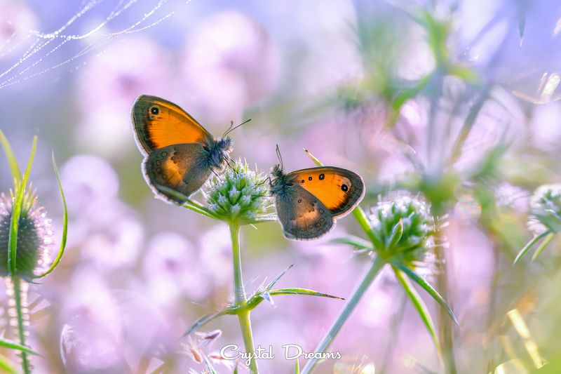 Bokeh, Butterfly, Crystal Dreams, Light, Macro, Morning, Nature \