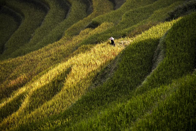 Asia, Asian, Farmer, Field, Green, Landscape, Photography, Rice, Terraces rice field, Yellow Terrace rice field in asiaphoto preview
