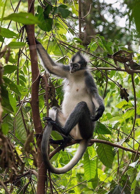 индонезия, гибон, орангутан, Обезьяны Суматрыphoto preview