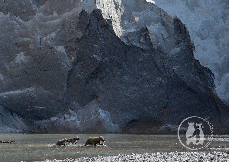 камчатка, бурые медведи Заколдованная стенаphoto preview