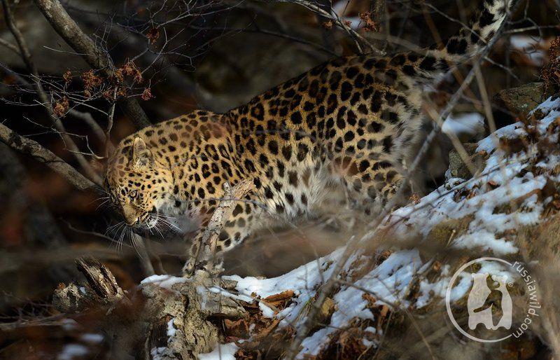 дальневосточный леопард Пятнистое утроphoto preview