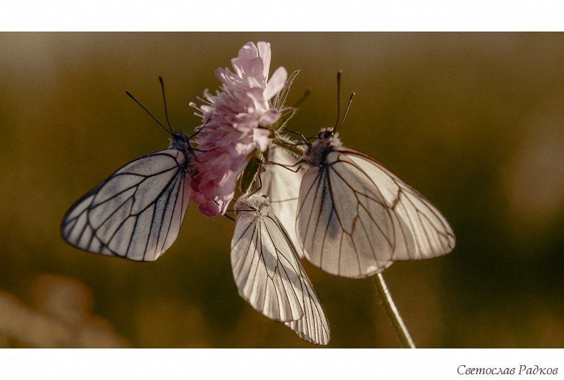 Дрозд Пеперудиphoto preview