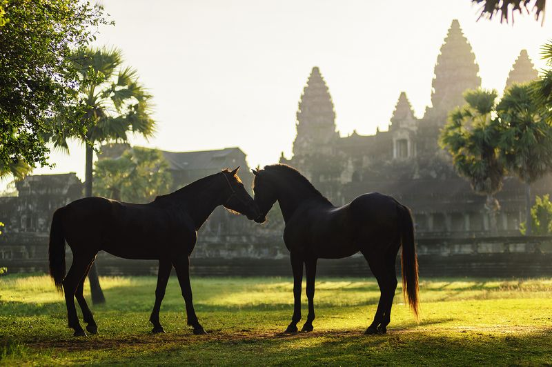 Angkorwat, Animals, Asia, Asian, Heritage, Horse, Light, Moment, Sunlight Love in Angkor watphoto preview