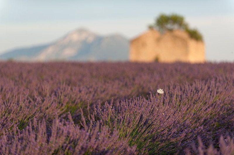 лаванда, прованс, франция, фототур Лавандовый закатphoto preview