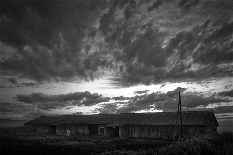 Летняя утренняя чб картинка с белой коровой у ферму в Скомороховоphoto preview