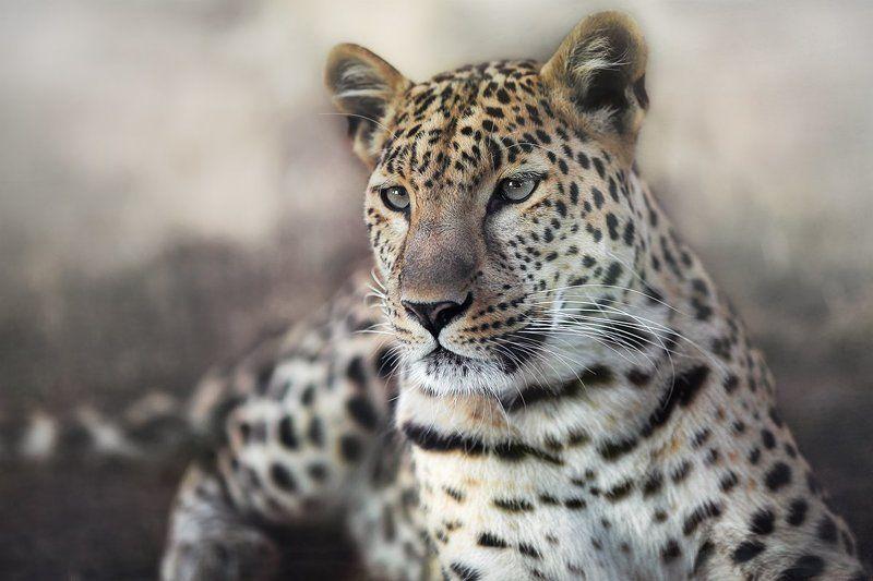 Животные, Кошки, Леопард, Портрет Леоphoto preview