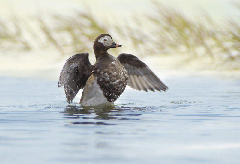 clangula hyemalis, long-tailed duck, арктика, дикая природа россии, морянка, птицы, ямал От винта!photo preview