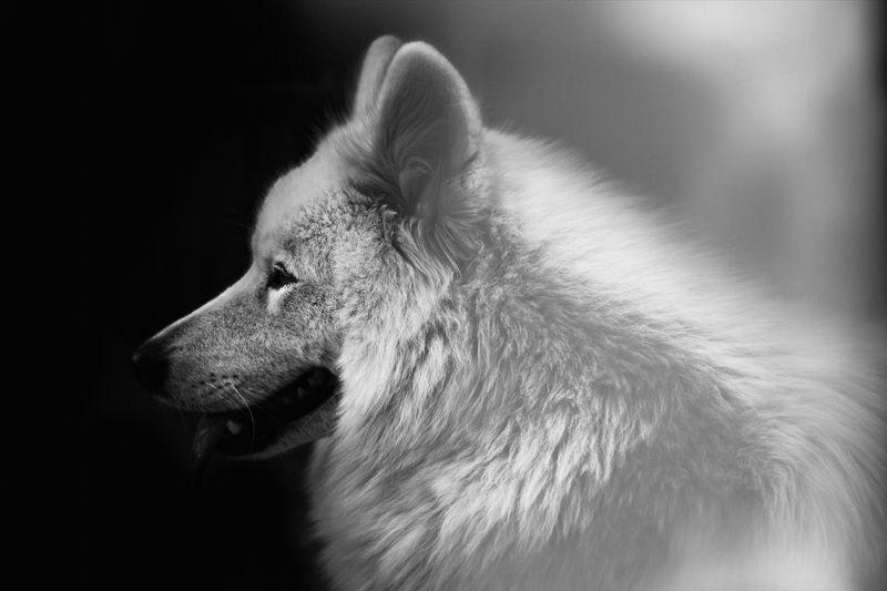 Animals, Dogs, Pets, Samoyed Aira The Samoyedphoto preview