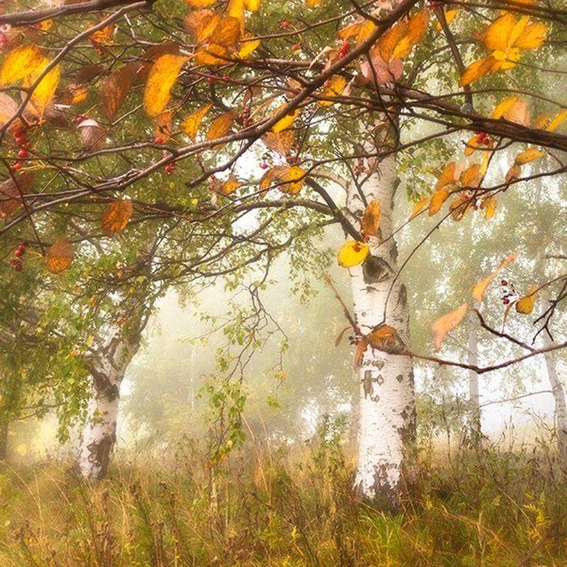 березы, гора, лес, октябрь, осень Октябрь запутался в рассеянных мысляхphoto preview