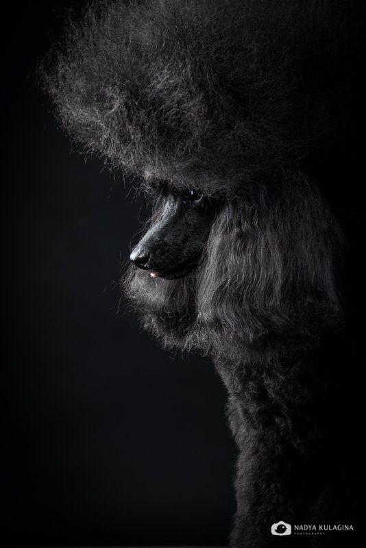 Black, Dog, Portrait, Studio, Портрет, Свет, Собака, Студия, Черное Кайphoto preview