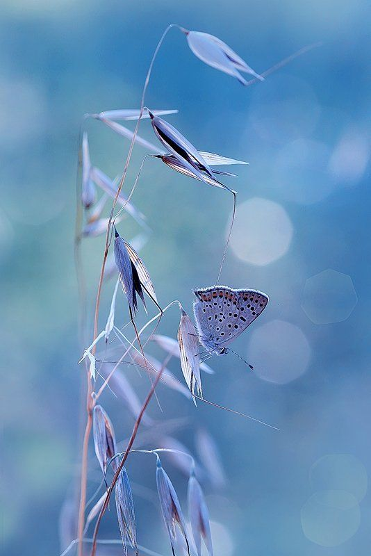 бабочка, боке, голубянка, лето, макро Голубой блюзphoto preview