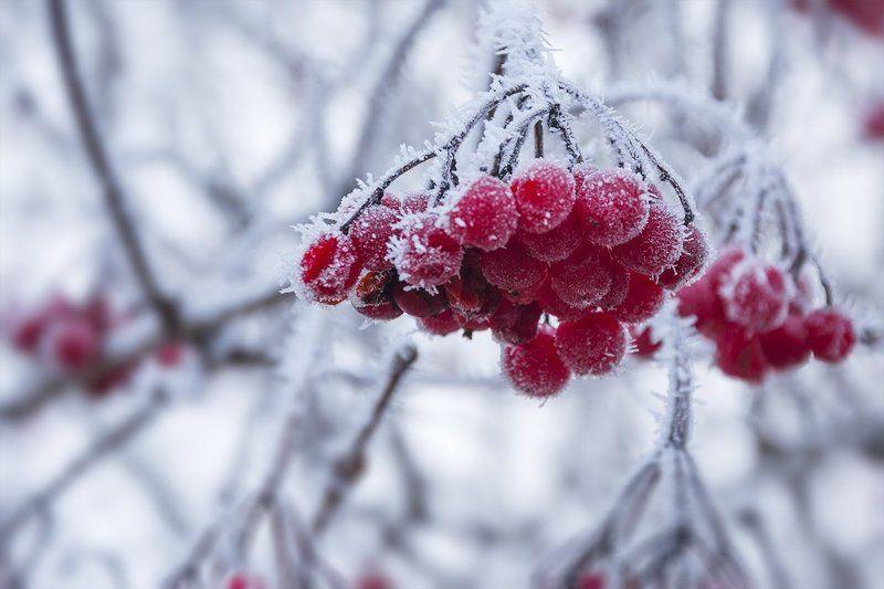 Грозди, Иней, Калина, Природа, Россия, Тульская область, Утро Грозди калины покрыты осенним инеемphoto preview