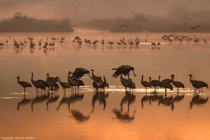 журавли, заповедник, настроение, отражения, природа, птицы, рассвет, туман, утро Журавушки на рассвете...photo preview
