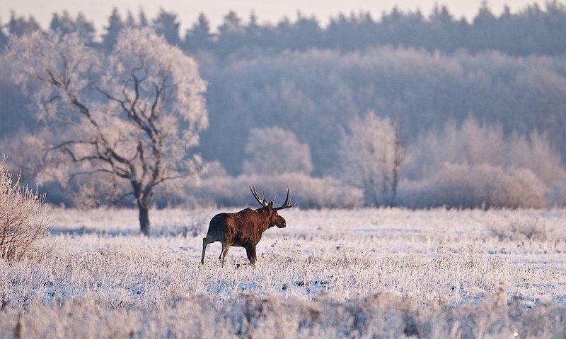 дикая природа, лось Розовый инейphoto preview