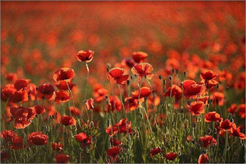 Flowers, Giedriusfoto, Lithuania, Poppy seed, Red Redphoto preview