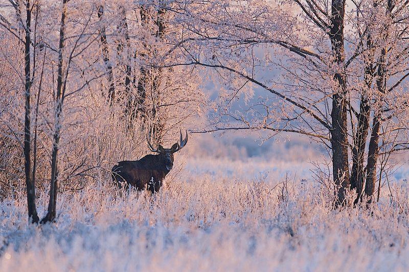 Дикая природа россии, Иней, Лес, Липецкая область, Ноябрь лосиphoto preview