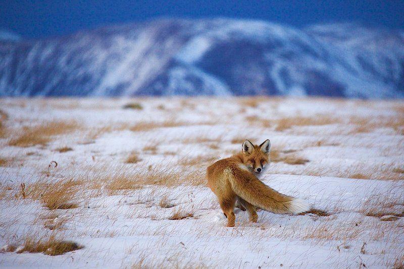 вечер, жумалы, лиса, октябрь, дорога на укок,респ.алтай Как лисица мышковалаphoto preview