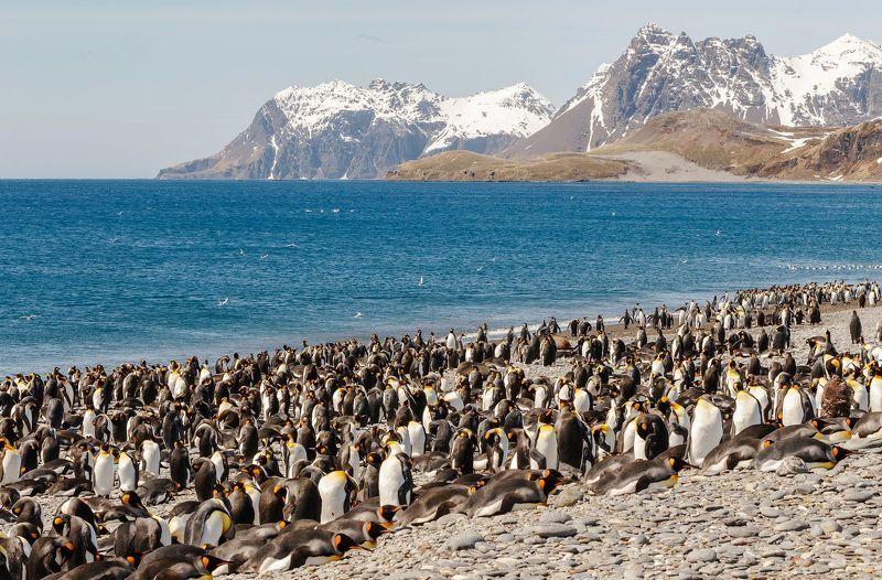 King Penguin, South Georgia, Королевский пингвин, Южная Георгия South Gelendzhikphoto preview